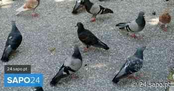 PAN diz que Lisboa capturou num ano 7.420 pombos e quer fim do abate destes animais - SAPO 24