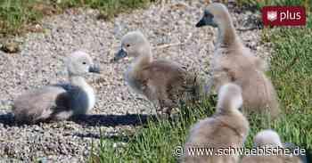 Bad Waldsee: Schwanenküken am Stadtsee sind geschlüpft - Schwäbische
