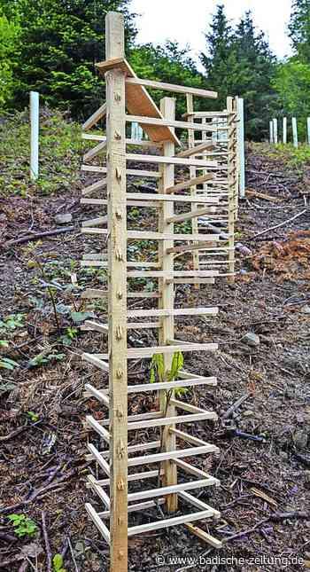 Hölzerne Gitter zum Schutz junger Bäume - Staufen - Badische Zeitung