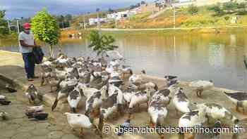 Após polêmica nas redes sociais, prefeitura de Ouro Fino faz publicação sobre os patos do Recanto dos Lagos - Observatório de Ouro Fino