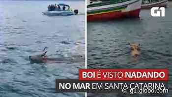 Boi nada no mar para fugir de farristas em Porto Belo, diz ONG - G1