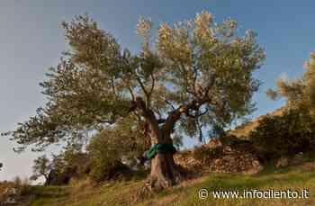 Castellabate: una pianta di ulivo come simbolo di rinascita - Info Cilento