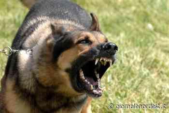 Motta di Livenza/Pinscher sbranato in cortile da due cani scappati ai proprietari - Giornale Nord Est