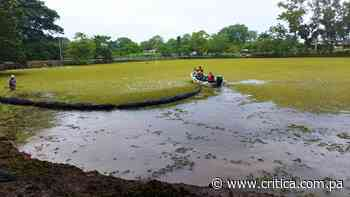 Planta acuática invasora se toma el lago de la Feria de Ocú - Crítica Panamá