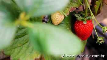 RS: agricultor de Soledade investe na produção de morangos - Agrolink
