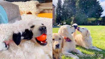 Cadela golden retriever acolhe filhote de cordeiro rejeitado pela mãe - Amo Meu Pet