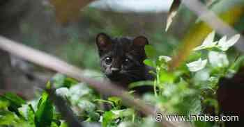 Apareció un tigrillo melánico en el Parque Nacional Natural Pisba - infobae