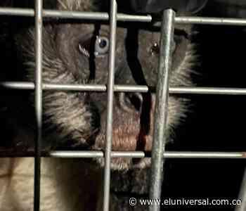 [Video] Rescatan en restaurante de Turbaco mono en vía de extinción - El Universal - Colombia