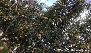 Productores de frutas de Nuevo Colón preocupados por precios de insumos - W Radio
