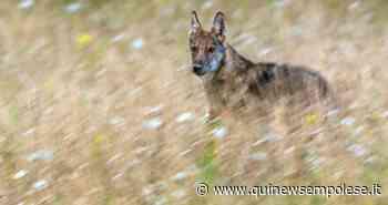 Avvistamenti e caprette morte, sono tornati i lupi - Qui News Empolese