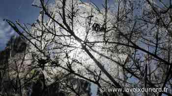 Insolite: invasion spectaculaire de chenilles à Neuville-en-Ferrain - La Voix du Nord