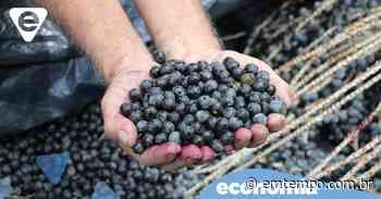 Agricultores de Coari comercializam açaí para agroindústria flutuante - Em Tempo