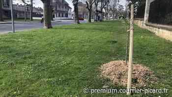 Le sort des arbres de retour au conseil municipal de Noyon, ce vendredi soir - Courrier picard
