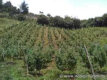 Fortalecen producción de uchuva en Cácota | Noticias de Norte de Santander, Colombia y el mundo - La Opinión Cúcuta