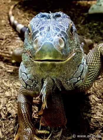 Tiere: Vogelspinnen und giftige Schlangen: Was es im Reptilienzoo in Scheidegg zu sehen gibt - Scheidegg - all-in.de - Das Allgäu Online!
