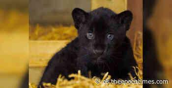 """""""Preciosa"""" hembra de jaguar negra nace en el Santuario de Grandes Felinos de Inglaterra - lagranepoca"""