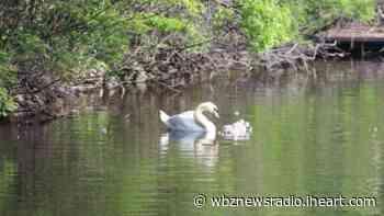 "The Charles River Esplanade's ""Mother Swan"" Dies, Officials Say | WBZ NewsRadio 1030 - KFI AM 640"