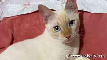 Tutora procura gato que desapareceu em Palmital - Assiscity