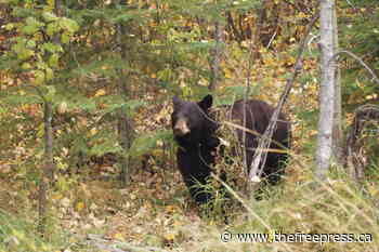 Bears reports across Fernie as summer sets in – The Free Press - The Free Press