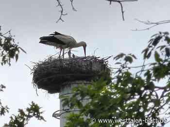 In Lippinghausen sind zwei Storchenküken geschlüpft: Hurra, der Nachwuchs ist da! - Hiddenhausen - Westfalen-Blatt