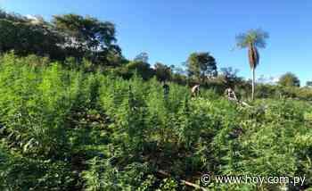 Operativo en Capitán Bado: sacan de circulación más de 117 toneladas de marihuana - Hoy