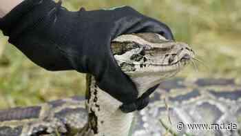 Florida belohnt Jagd auf Python-Schlangen mit 2.500 Dollar - RND