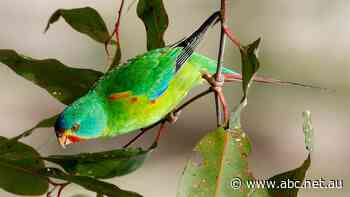 Critically endangered swift parrots spotted in Port Macquarie spark hope, excitement - ABC News