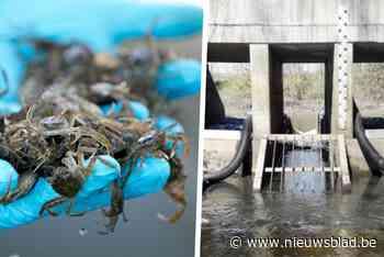 """Valstrik om agressieve krabben tegen te houden: """"Vermijden dat ze in Scheldevallei geraken"""""""