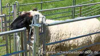 Schafscherer in Friedrichstal - Rund 500 Tiere lassen ihre Wolle - Schwarzwälder Bote