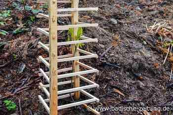 Förster experimentiert mit hölzernen Gittern zum Schutz junger Bäume - Staufen - Badische Zeitung