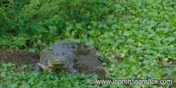 Alrededor de cuatro reptiles deambulan en el cantón Colima, en Suchitoto - La Prensa Grafica