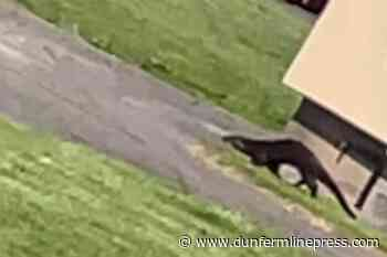 Rosyth: Otter spotted wandering around Sherbrooke Road area of Fife town - Dunfermline Press