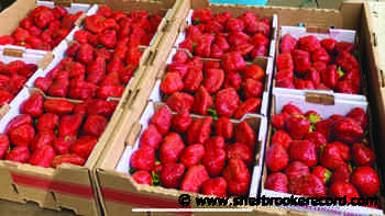 Strawberries are early this year! - Sherbrooke Record