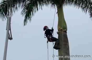 En Circasia la CRQ avaló el corte de palmas del parque principal - El Quindiano S.A.S.