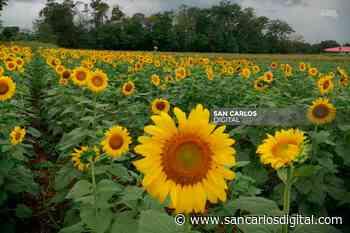¡Hermoso! El primer campo de girasoles del país abre en Pital | SanCarlosDigital.com - San Carlos Digital