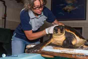 Antibes. Emilie la tortue se refait une santé à l'hôpital pour tortues de l'association Marineland - actu.fr
