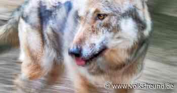 Wolf in Bitburg Bernkastel-Wittlich - Trierischer Volksfreund