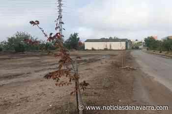 Acto vandálico en Corella: envenenan los olmos plantados como homenaje a las víctimas del Covid-19 - Noticias de Navarra