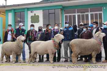 Melgar: adquieren carnero raza Corriedale para mejorar la calidad genética - Pachamama radio 850 AM