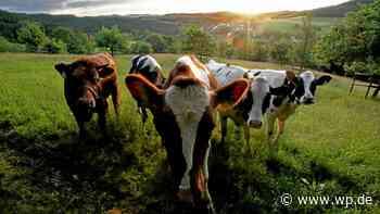 Wilnsdorf: Kühe auf Nachtwanderung, Polizei als Cowboys - Westfalenpost