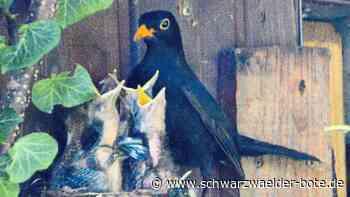 Vögel füttern vier Junge groß - Amselnest am Oldtimer-Schuppen in Geislingen - Schwarzwälder Bote
