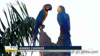 Araras-canindé fazem ninhos no topo de palmeira e trocam carícias no centro de Palmas - G1