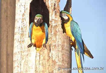 Casal de araras é flagrado em palmeira no centro de Sorriso - Só Notícias