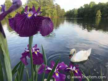 Swan Lake-Iris Gardens gets global recognition as Level II arboretum site after 5 years of work - Sumter Item