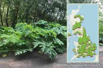 Giant Hogweed in Welshpool and Newtown - How to deal with toxic plant - Powys County Times