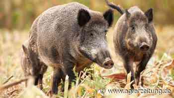 Afrikanische Schweinepest: Jagd- und Ackerbauverbot in Frankfurt an der Oder - agrarzeitung online