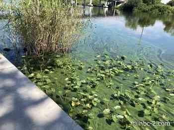 Blue-green algae bloom found at Franklin Locks on Caloosahatchee River - NBC2 News