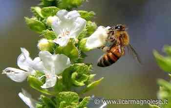 Carmagnola, una giornata dedicata ad api e apicoltura - Il carmagnolese