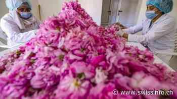 La dura labor de las recolectoras de rosas en Marruecos - swissinfo.ch
