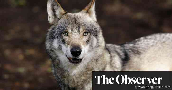 The mystery of Denmark's vanishing wolf pack – are hunters to blame?